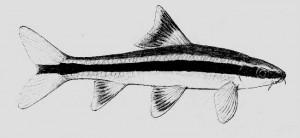 Epalzeorhynchus kalopterus