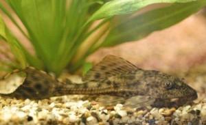 Hypostomus punctatus - esemplare giovane
