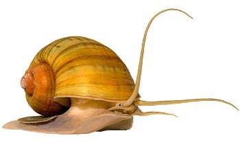 Pomacea (Ampullaria)