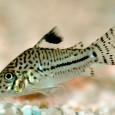 Sul motivo per cui gli Ancistrus non dovrebbero essere definiti col generico termine di pesci pulitori abbiamo già accennato nella sezione delle leggende metropolitane. Approfondiamo qui il concetto e cerchiamo di dare una panoramica delle […]