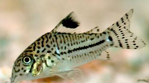 I Corydoras sono tra i pesci più diffusi in acquariofilia. Hanno dimensioni contenute, sono pacifici, socievoli ed adattabili alla vita in cattività (ad eccezione delle specie più delicate o dagli esemplari prelevati direttamente in natura). […]