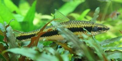 Il Crossocheilus siamensis è un pesce molto famoso per la propria attitudine, soprattutto in giovane età, a nutrirsi di alghe filamentose verdi. Per questo motivo è molto diffuso negli acquari. Purtroppo a volte questi pesci […]