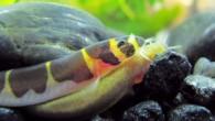 Nomi usati: Acantophtalmus kuhlii Abitudini: E' un pesce vermiforme appartenente alla famiglia dei cobitidi di origine asiatica, diffuso prevalentemente nelle zone sabbiose e melmose dei corsi d'acqua di Tailandia, Malesia, Borneo, Sumatra, Java, Indonesia. Si […]