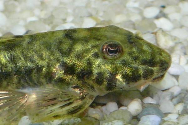 Tutto sui pesci pulitori for Pesci da laghetto mangia zanzare