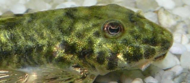 I Parotocinclus sono un genere di catfish appartenente alla famiglia Loricariidae diffuso in sudamerica, composto da un numero limitato di specie, con caratteristiche differenziate tra loro, tanto da essere indicate in uno studio del 2005 […]