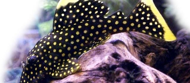 Agli inizi della diffusione dell'acquariologia i loricaridi e i catfishes in genere non erano considerati pesci degni di particolare considerazione. Avevano una generica fama di pesci mangia-alghe, e, indipendentemente dalle specie, venivano inseriti in acquario […]