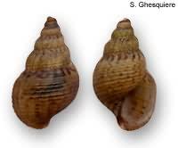 Melanoides granifera