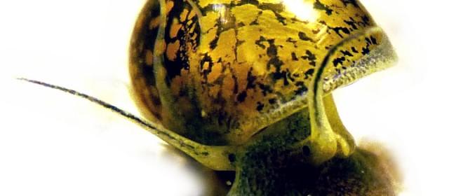 Le piccole lumache infestanti sono tra i più comuni organismi indesiderati che possono popolare un acquario. In questo articolo riportiamo alcune infomazioni per capire e controllare questi organismi. Sono veramente pericolose e infestanti? Non necessariamente […]