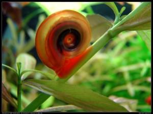 Planorbis corneus